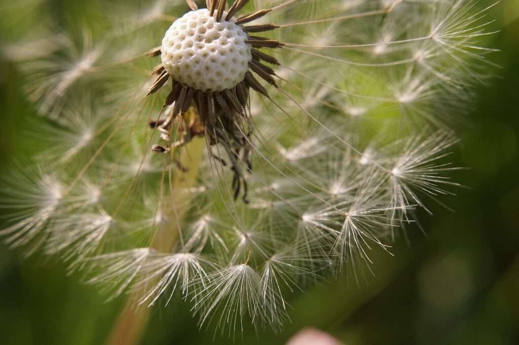 Dandelion Close Up Seeds  - Ter_F / Pixabay