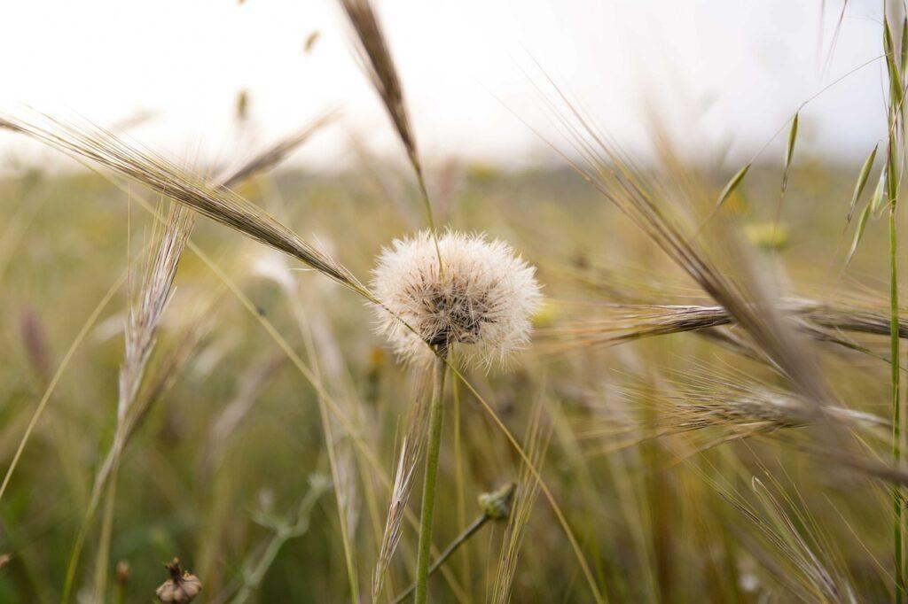 Dandelion Seeds Plant Grass Meadow  - lucas_holiday / Pixabay