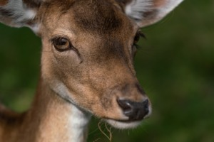 Deer Fawn Animal Doe Head Eyes  - Lars_Nissen / Pixabay