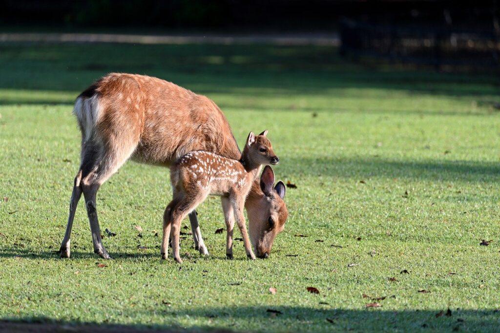 Deer Parent Child Morning Cute  - yamabon / Pixabay