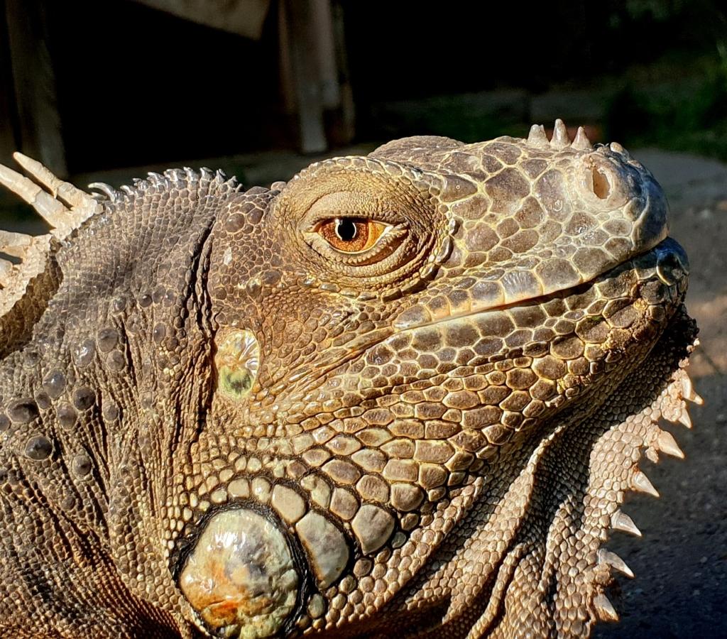 Dino Lizard Animal  - PoldyChromos / Pixabay