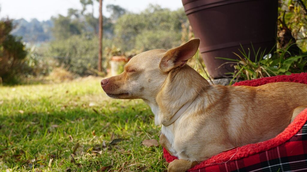 Dog Chihuahua Cute Small Puppy  - pablogomez194 / Pixabay