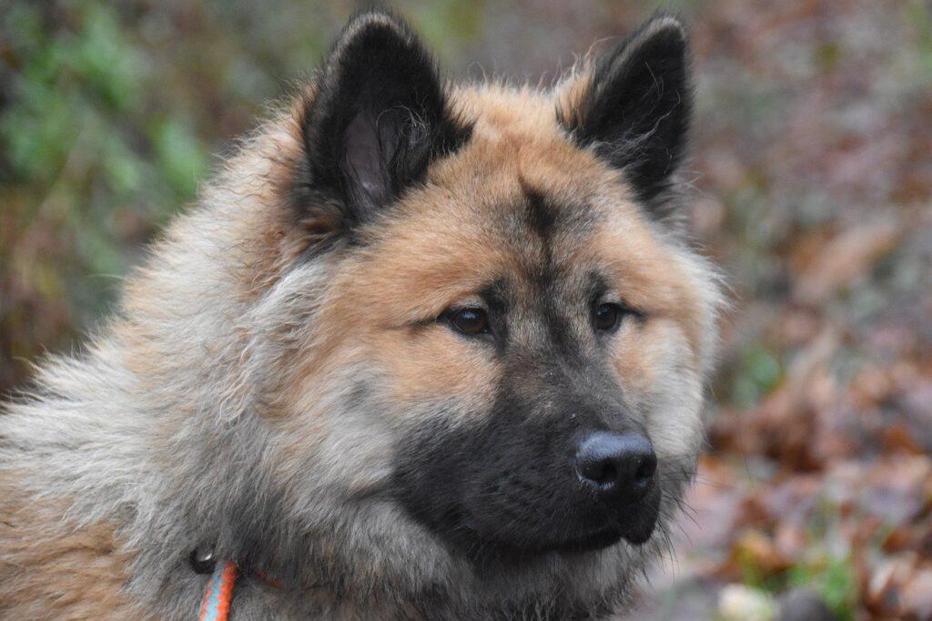 Dog Eurasier Pet Collar Dog Collar  - JACLOU-DL / Pixabay