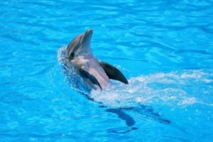 Dolphin Animal Swim Water Mammal  - Sekau67 / Pixabay