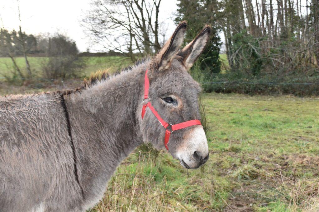 Donkey Equine Red Halter Donkey  - JACLOU-DL / Pixabay