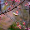 Donut Bird Bird Cherry Blossoms  - PhươngNguyễn / Pixabay