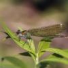 Dragonfly Insect Macro Wings  - Gab-Rysia / Pixabay