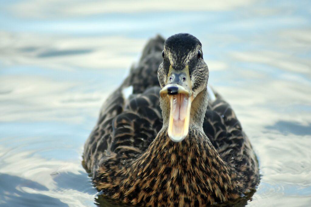 Duck Open Beak Open Beak Character  - Petrucy / Pixabay