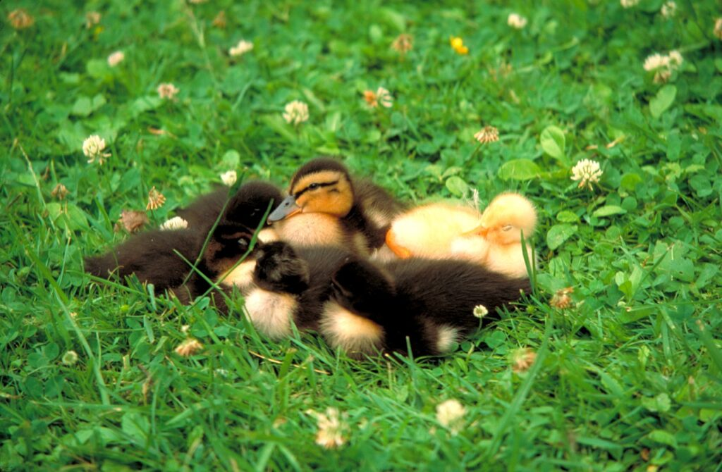 Ducklings Birds Meadow Waterfowls  - chow5325 / Pixabay