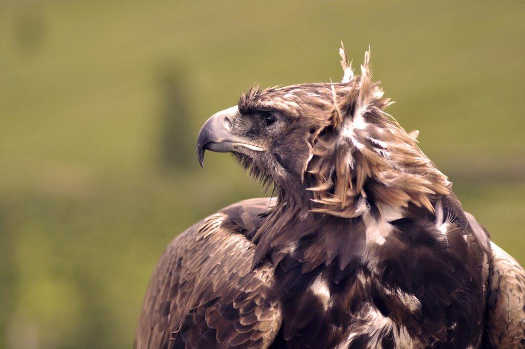 Eagle Bird Animal Raptor Nature  - Erdenebayar / Pixabay