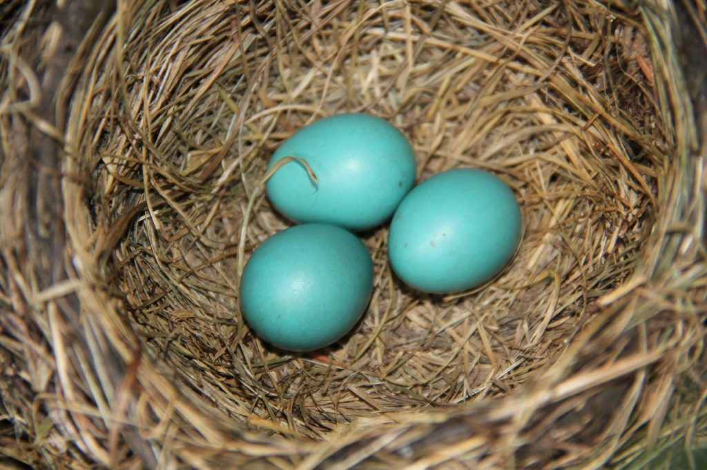Eggs Robin Nest Blue Spring Bird  - lmt56 / Pixabay