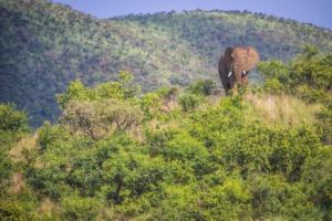 Elephant African Elephant Africa  - Cat001 / Pixabay
