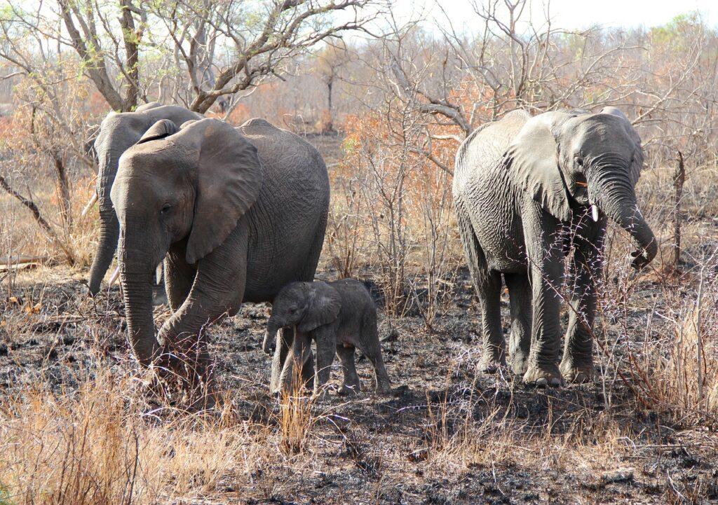 Elephants Calf Safari Baby Elephant  - JonHoefer / Pixabay