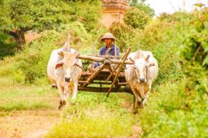 Farmer Ox Carts Ox Cart  - Kollinger / Pixabay