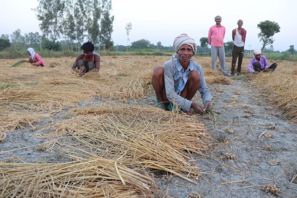 Farmers Crop Cutting Rice  - gaonkisan / Pixabay