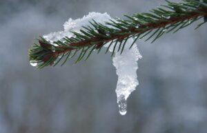 Fir Snow Ice Thaw Winter Melt  - tfrdic / Pixabay