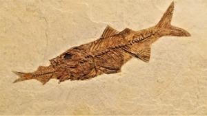 Fish Fossil Perch Rock Skeleton  - JDShelton / Pixabay