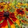 Flower Petals Meadow Coneflowers  - Erik_Karits / Pixabay