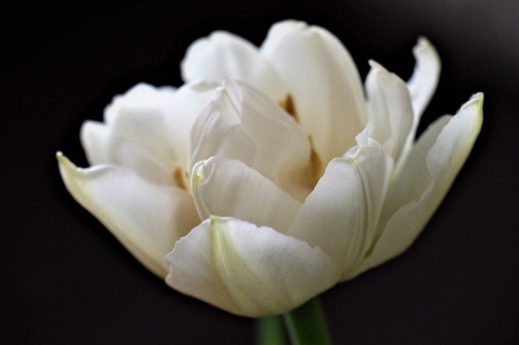 Flower Tulip White Memory Figure  - Mouse23 / Pixabay