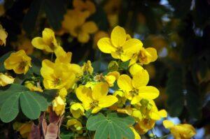 Flower Yellow Petals Cassia  - DEZALB / Pixabay