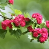 Flowers Hawthorn Walk In The Park  - olleaugust / Pixabay
