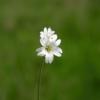 Flowers Minor White Nature Beauty  - erwin66as / Pixabay