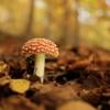 Fly Agaric Mushroom Forest  - heirofvaliant / Pixabay