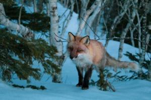 Fox Animal Canine Mammal Wildlife  - assoxxx90 / Pixabay