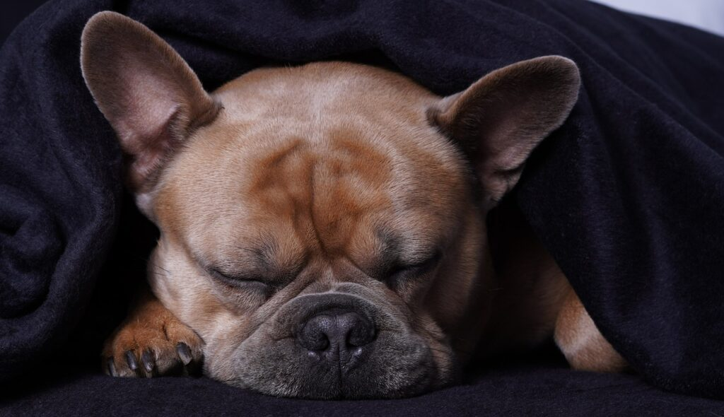 French Bulldog Dog Sleep  - Mylene2401 / Pixabay