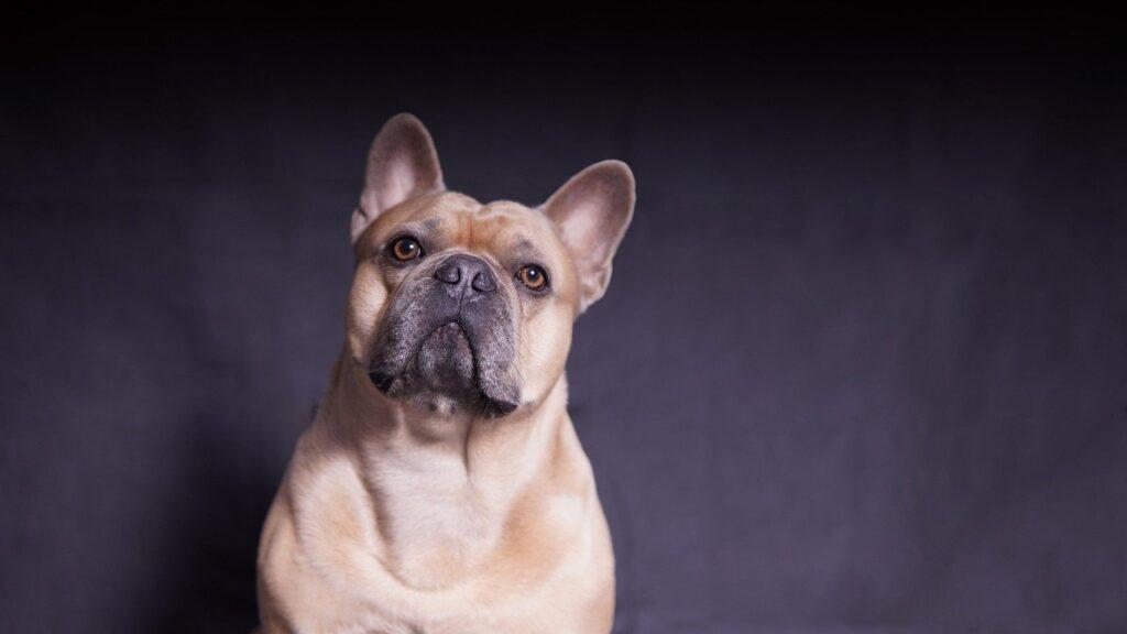 French Bulldog Dog Strong Muscular  - Mylene2401 / Pixabay