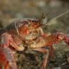 Freshwater Crayfish Shrimp Killer  - BARBARA808 / Pixabay