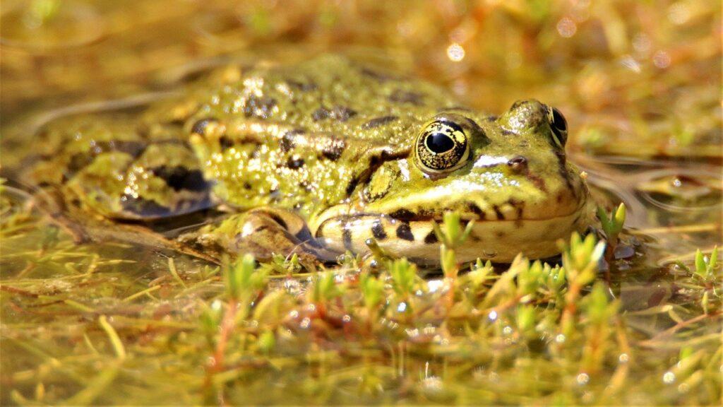 Frog Animal Pond Amphibian  - Arawolf / Pixabay