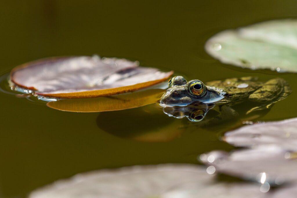 Frog Eyes Pond Amphibians Nature  - suju-foto / Pixabay