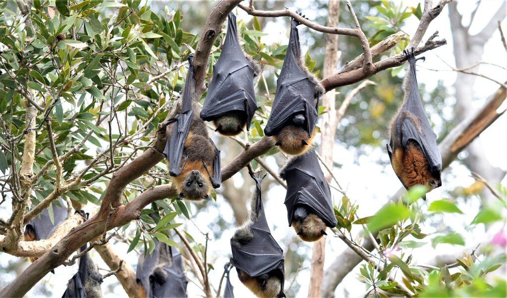 Fruit Bats Bats Megabats Chiroptera  - BTS-BotrosTravelSolutions / Pixabay