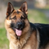 German Shepherd Dog German Shepherd  - dendoktoor / Pixabay