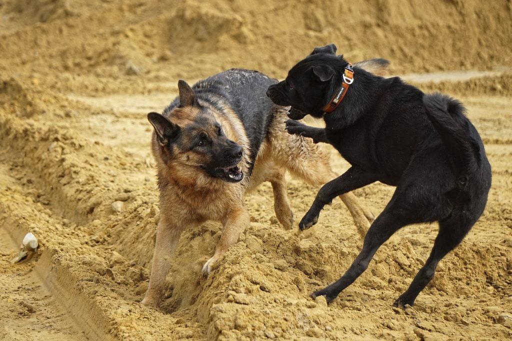 German Shepherd Dogs Playing  - LeeleeUusikuu / Pixabay