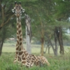 Giraffe Sitting Wild Kenya Africa  - peterjohnball0 / Pixabay
