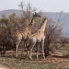 Giraffes Animals Mammal Long Necked  - wicked_wizard / Pixabay