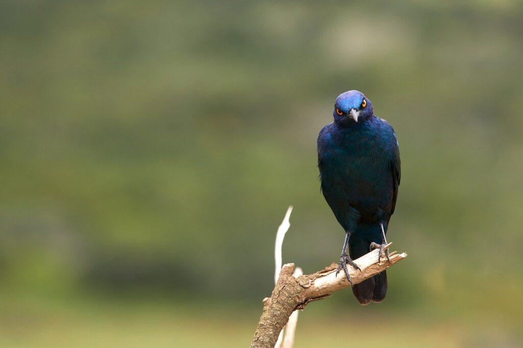 Glossy Starling Bird Perched  - Wolfgang_Hasselmann / Pixabay