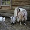 Goat Nanny Goat Kid Newborn Cute  - reijotelaranta / Pixabay