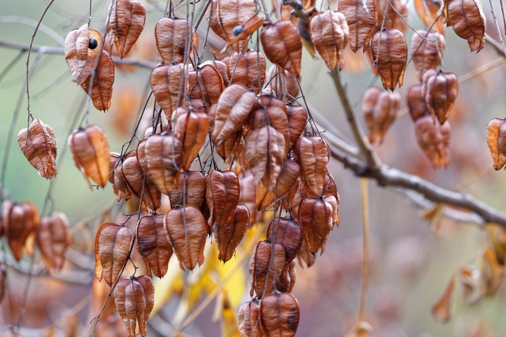 Golden Rain Tree Seed Pods Branch  - icsilviu / Pixabay