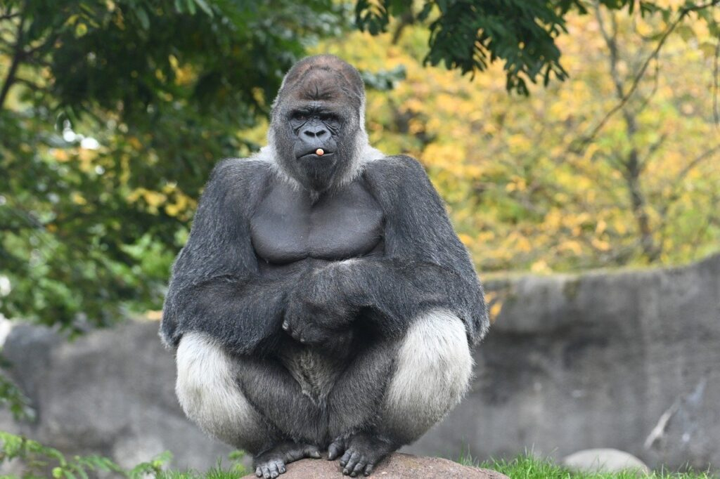 Gorilla Primate Ape Monkey Bokito  - Spykerf1 / Pixabay