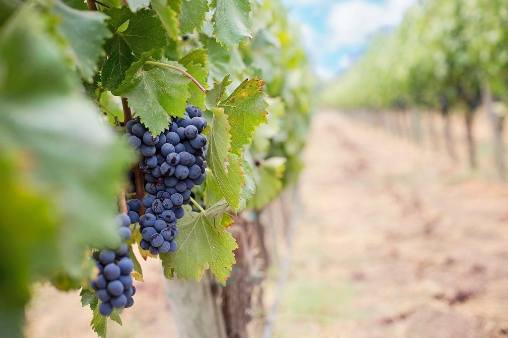 Grapes Wine Grapes Purple Grapes  - JillWellington / Pixabay
