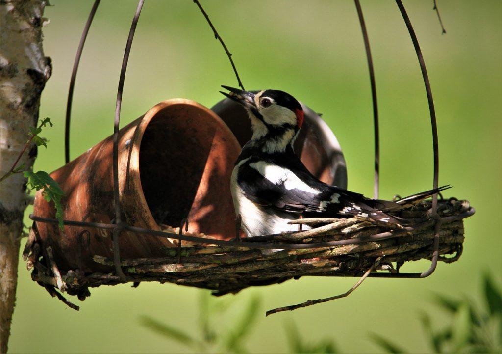 Great Spotted Woodpecker Male  - Carola68 / Pixabay