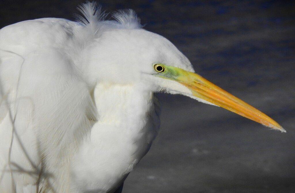 Great White Egret Egret Bird Animal  - MabelAmber / Pixabay