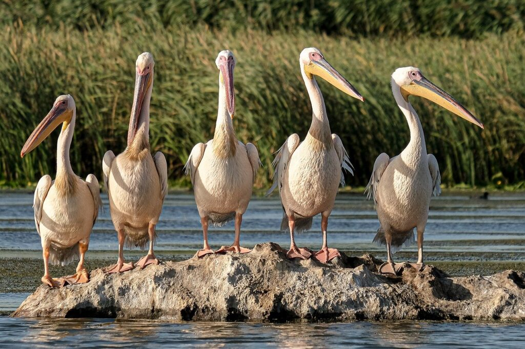 Great White Pelicans Birdwatching  - andreiprodan_ / Pixabay