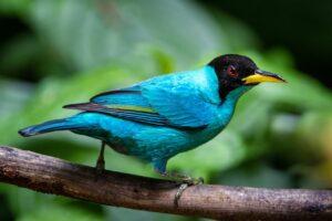 Green Honeycreeper Bird Nature  - Paulswilderness / Pixabay