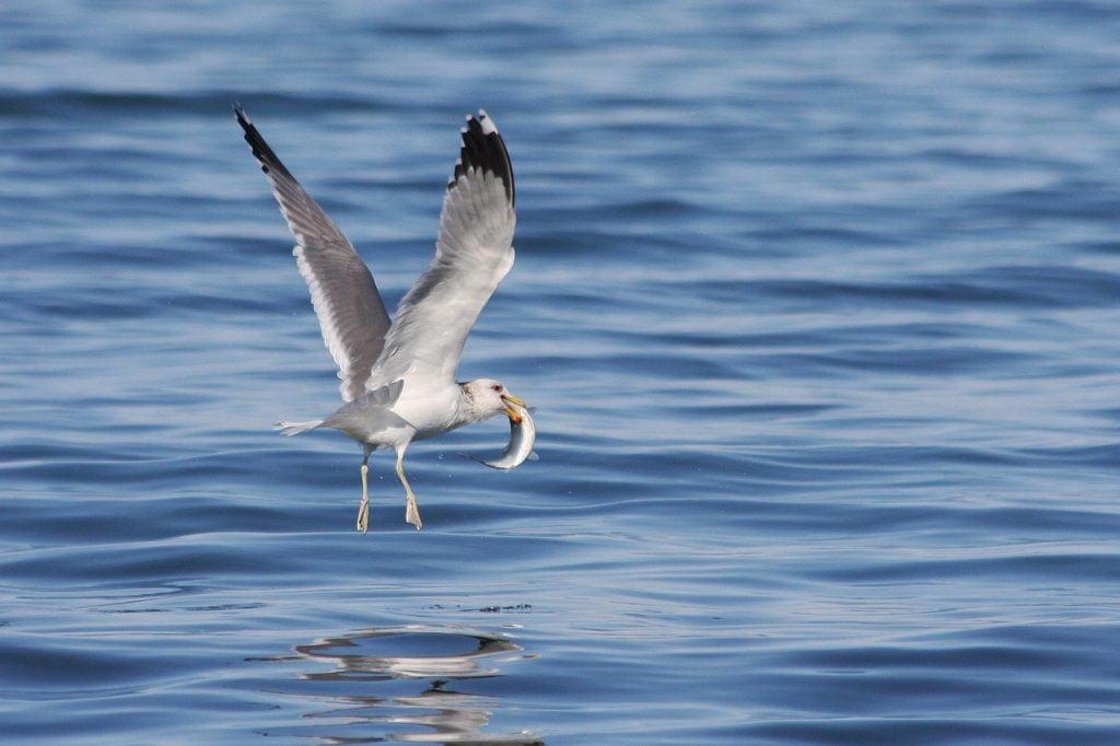 Gull Herring Run Catch  - SteveCrowhurst / Pixabay