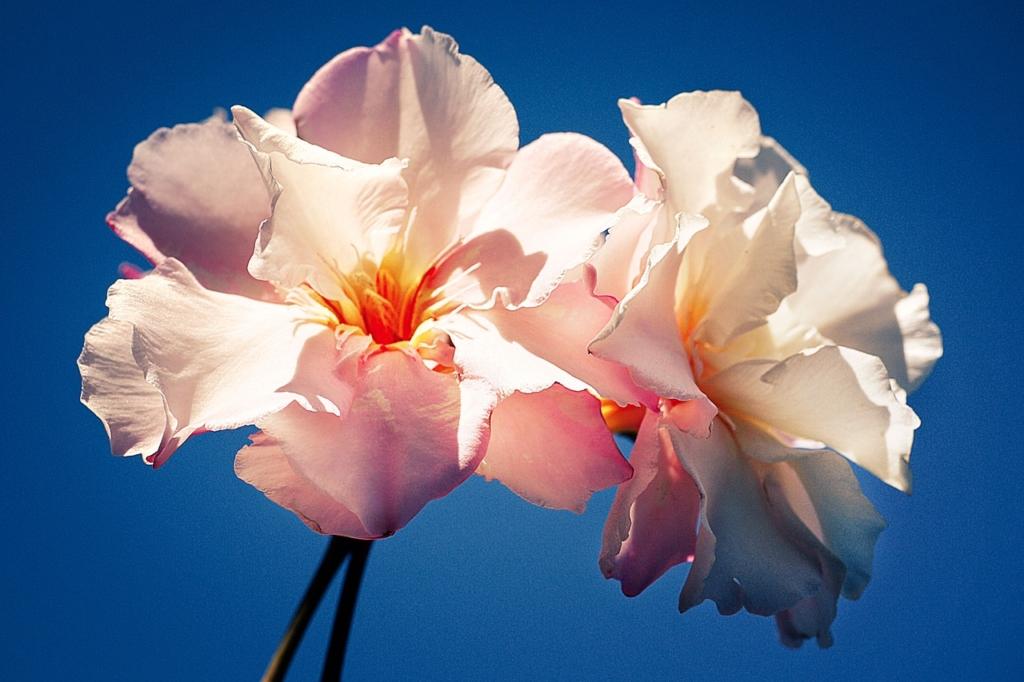 Hibiscus Flower Blossom Bloom  - fietzfotos / Pixabay