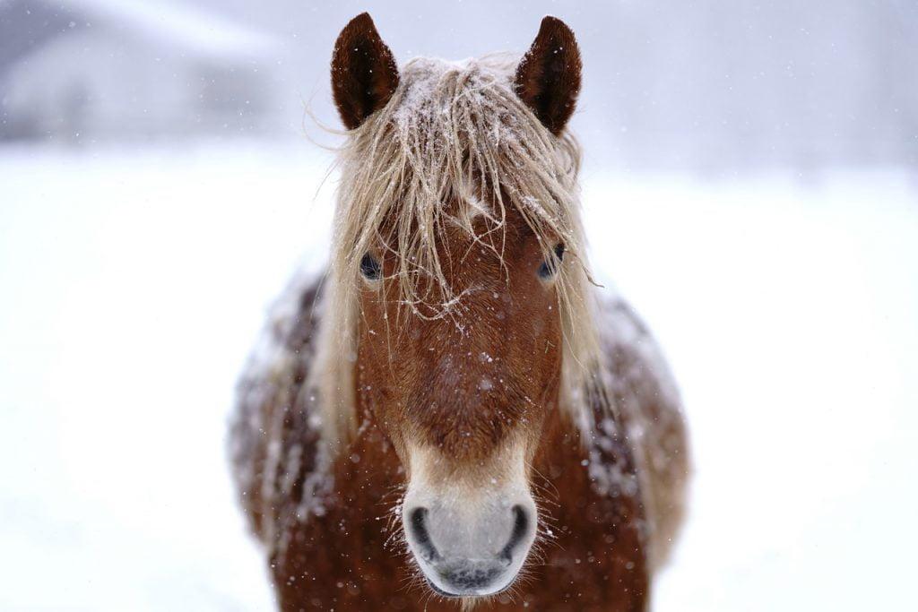 Horse Animal Winter Hokkaido  - makieni777 / Pixabay